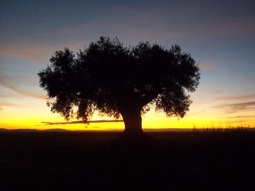 españa atardecer badajoz puestadesol olivo extremadura orellanalavieja