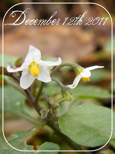12th Dec - Black nightshade