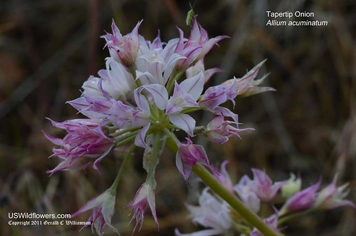 Tapertip Onion, Hooker's Onion - Allium acuminatum