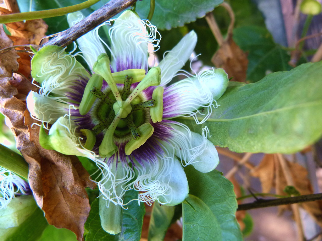 10-12-2011-passionflower