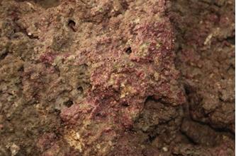 構成藻礁的粉紅色現生珊瑚藻(張睿昇攝)