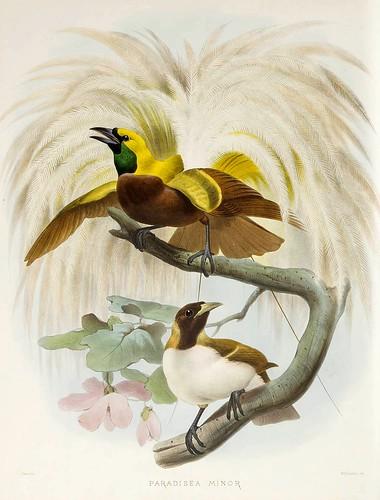 021-Lesser Ave del Paraiso-A Monograph of the Paradiseidae-1873 D.G. Elliot