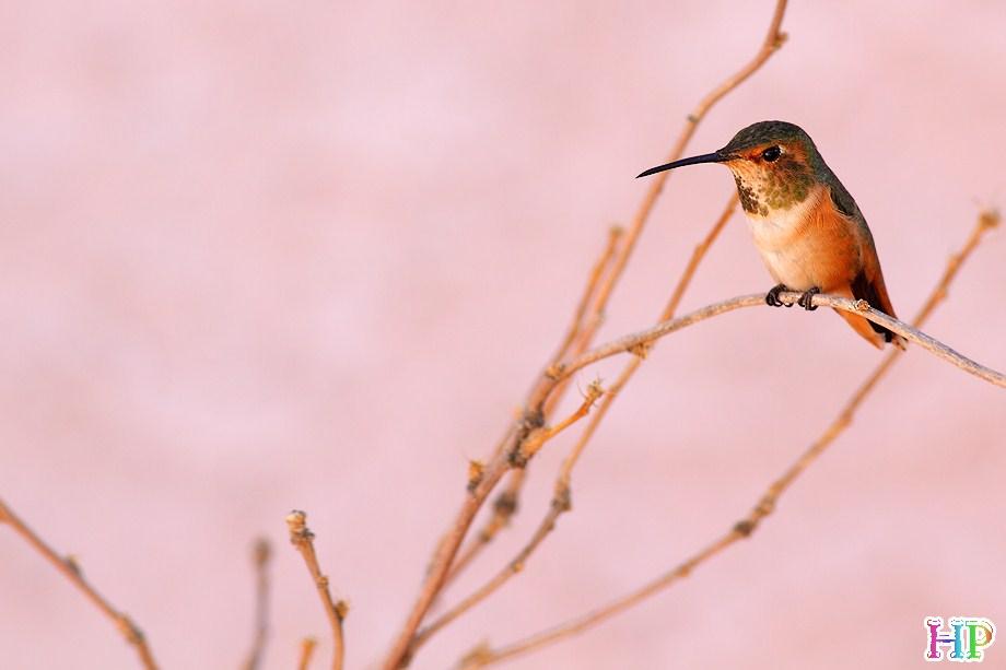 Allen's Hummingbird 122312-12