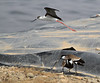 Black-winged Stilt intimidates spur-winged lapwings by Φ-Filippos-Κ