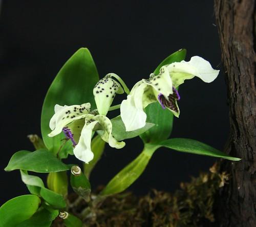 Dendrobium atroviolaceum pygmy mounted plant