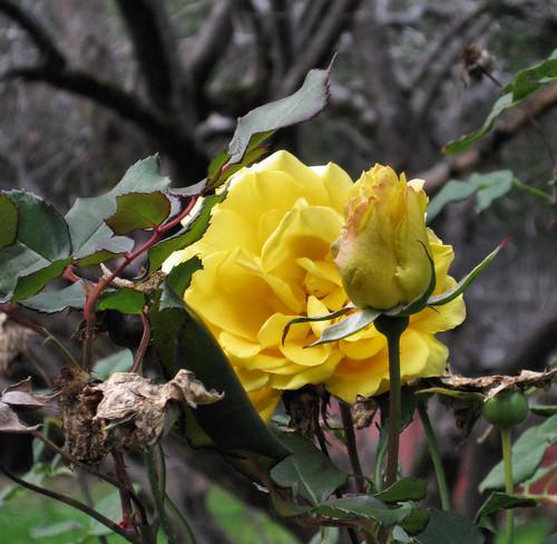 01_yellow rose