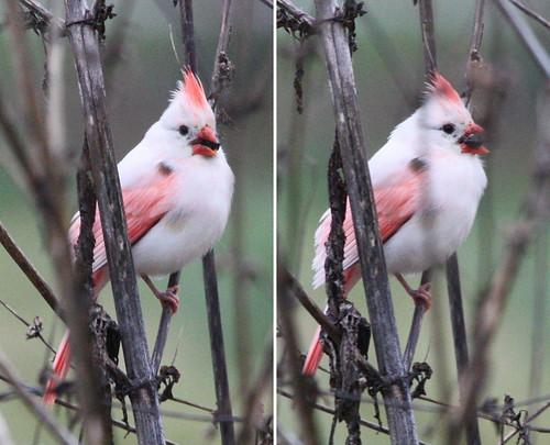 white bird cardinal albino femalecardinal northerncardinal leucistic