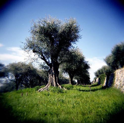 holga grove olive provence reala fangorn autaut