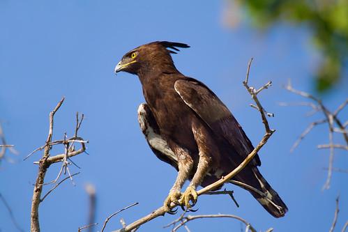 Long-crested Eagle - Juvenile