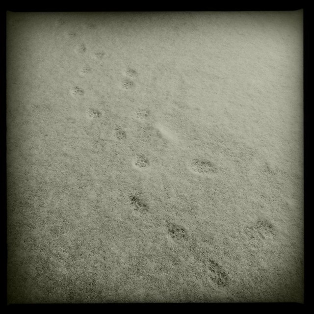 Kitten Prints in Snow