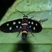 Small photo of Arctiid Moth (Amata wallacei)