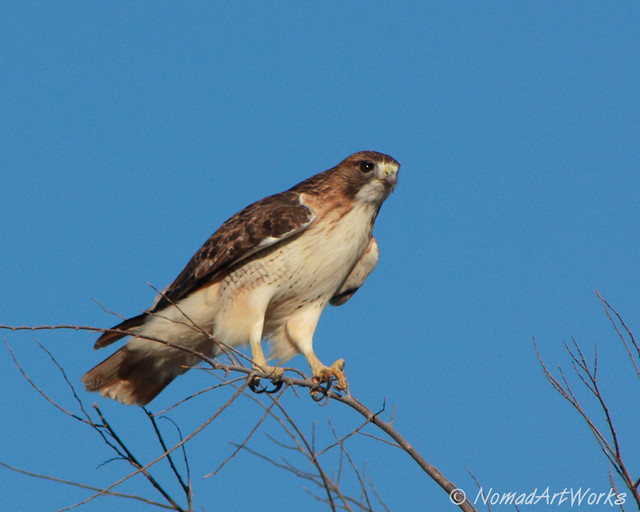 Red Tailed Hawk Perched Red-tailed Hawk...