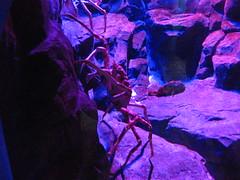 Ocean Park Spider Crab