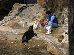 Feeding Sea Lions at Pacific Pier, Ocean Park
