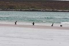 Gentoo and Magellanic Penguins