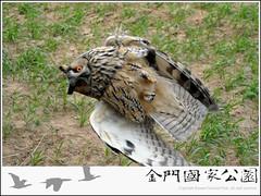 長耳鴞掛網搶救-01.jpg