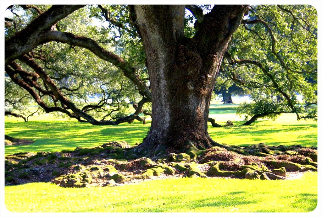 old oak at oak alley plantation