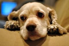 cockapoo(0.0), puppy love(0.0), cavapoo(0.0), cavalier king charles spaniel(0.0), american cocker spaniel(0.0), dog breed(1.0), animal(1.0), puppy(1.0), dog(1.0), cavachon(1.0), pet(1.0), mammal(1.0), english cocker spaniel(1.0), spaniel(1.0), close-up(1.0),