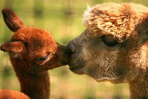 alpacas kiss