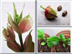Collage of Euphorbia bracteata (Little Bird Flower), including seeds and seedlings