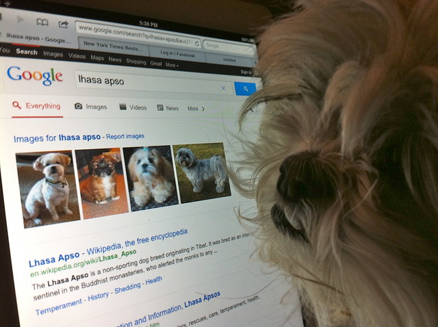 Zoey Likes to Google 'Lhasa Apso'