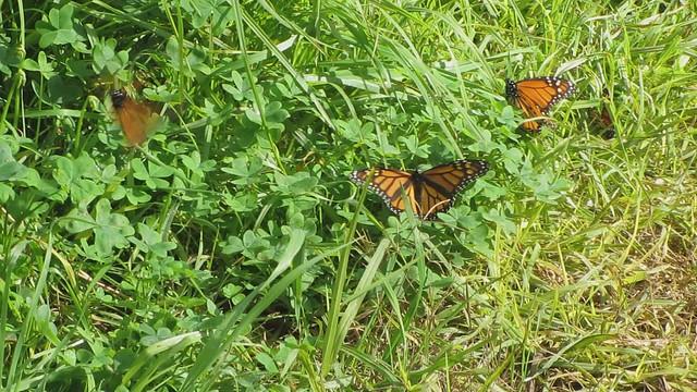 MVI_0868 Monarch butterfly cluster  Santa Barbara Shores, Sperling Preserve