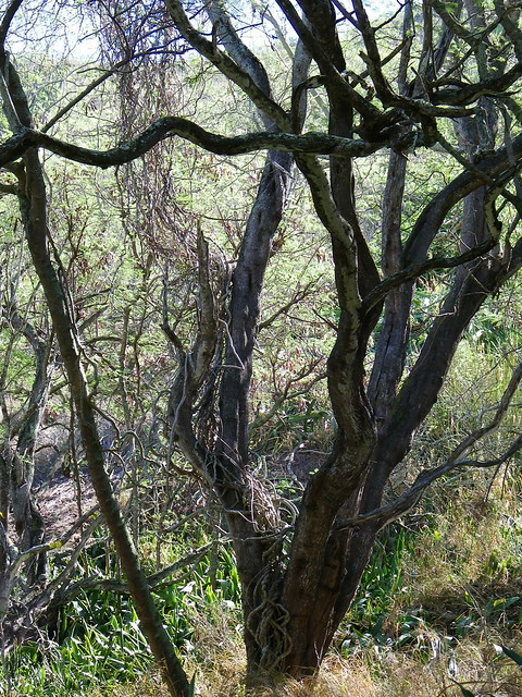 Koko Head Botanical Garden Vines By Coconut Wireless