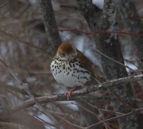 January Wood Thrush
