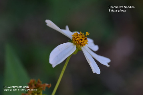 Shepherd's Needles ,Spanish Needles, Romerillo, Hairy Beggarticks, Cobbler's Pegs - Bidens pilosa