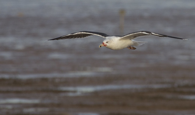 black backed gull in flight 2 da300m + 1-7x