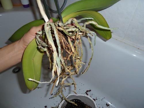 Problemi foglie orchidea forum di for Orchidea foglie gialle