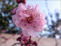 Flowering plum blossom