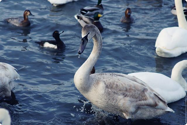 swans-23