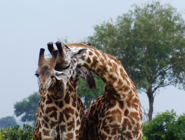 Giraffe greeting each other in Mikumi National Park as seen during game drives