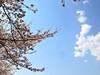 Photo:桜 @那珂川河畔公園(栃木県那須塩原市) By TOMODA