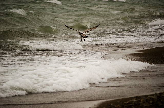 Seagull landing in the waves
