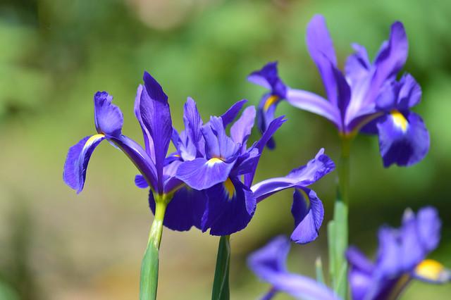 アイリス Iris