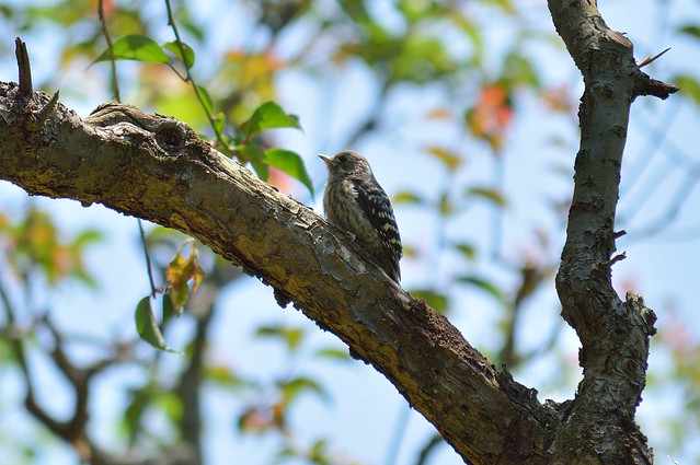 コゲラ Japanese Pygmy Woodpecker