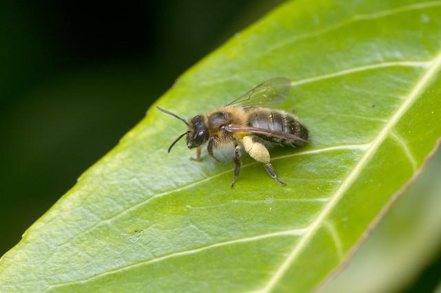 Andrena scotica (f)