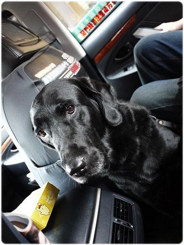 「北爛」板橋地院法官拒絕導盲犬~這個政府真的沒救了!帶頭虐待動物,連法官還公然違法!監察院呢?全是0分!20111126