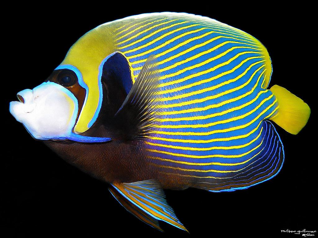 Ejemplar adulto de pez ángel emperador