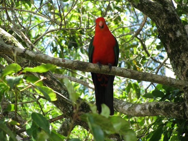 King Parrot