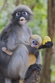 IMG_5519 dusky langur mother and young