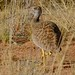 Small photo of Northern Black Korhaan (Afrotis afraoides) female