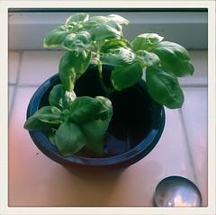 flower(0.0), produce(0.0), flowerpot(1.0), leaf(1.0), plant(1.0), green(1.0), basil(1.0),