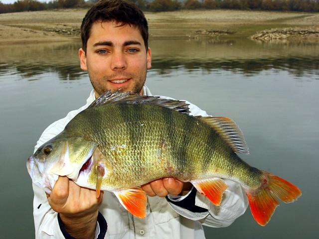 Huge 47 cm (18,5) European Perch Flickr - Photo Sharing!