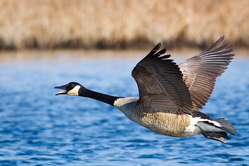 [フリー画像素材] 動物 2, 鳥類, 雁・ガン, カナダガン, 鳥類 - 飛ぶ ID:201112170400