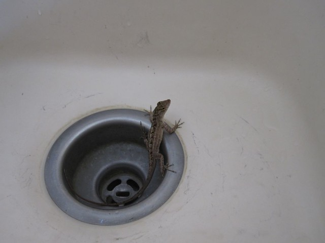 anole in the sink