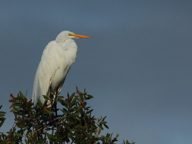 Great Egret 2-20111217