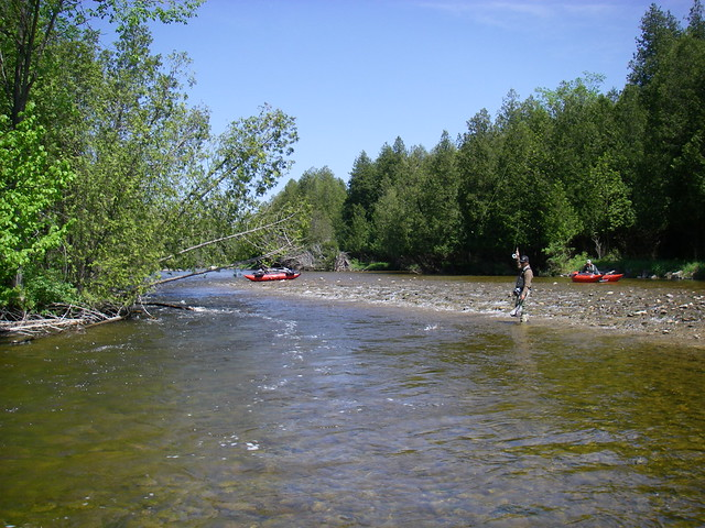 Landing a brown trout on the Saugeen River